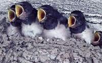 Per garantire un nido alle rondini cambiano le norme edilizie